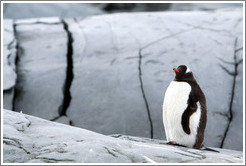 Gentoo Penguin standing in front of rocks.