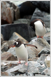 Gentoo Penguins, one grooming, one walking.