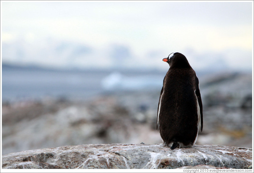 Back of a Gentoo Penguin.