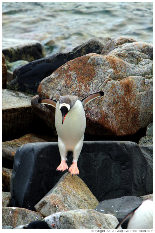 Gentoo Penguin jumping off a rock.
