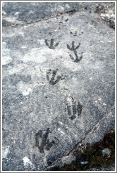Gentoo Penguin footprints on a rock.