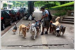 Dog walker with 11 dogs.  Calle Austria, Recoleta district.