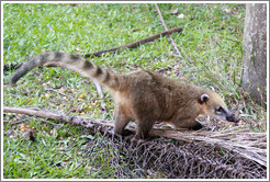 Coati on the Circuito Inferior.