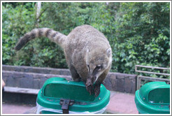 Coati on a rubbish bin on the Circuito Inferior.