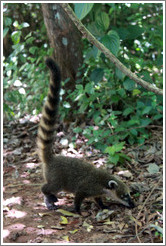 Coati on the Circuito Superior.