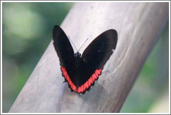 Black and red butterfly, on the path of Garganta del Diablo.