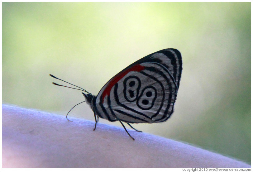 "Butterfly with ""88"" pattern on its wings, on my arm, path to Garganta del Diablo."