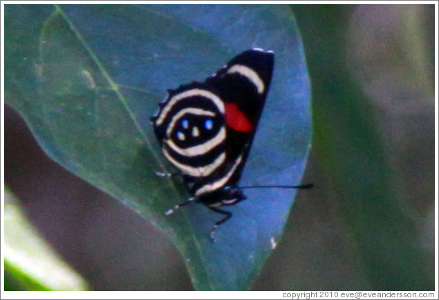 Black, white, red and blue butterfly, path to Garganta del Diablo.