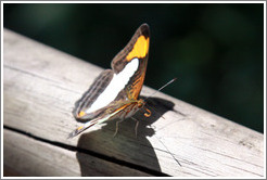 Black, white and orange butterfly, path to Garganta del Diablo.