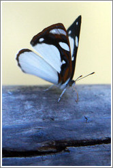 White, black and red butterfly, path to Garganta del Diablo.