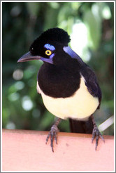 Plush Crested Jay.
