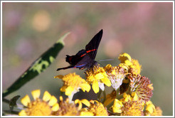 Black, red and blue butterfly on yellow flowers, near the entrance to Sendero Macuco.