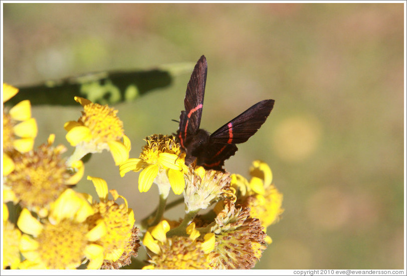 Black and red butterfly on yellow flowers, near the entrance to Sendero Macuco.