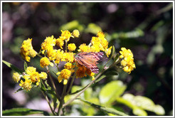 Orange butterfly on yellow flowers, near the entrance to Sendero Macuco.