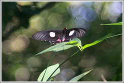 Black, white and magenta butterfly, Sendero Macuco.
