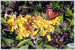 Orange butterfly on yellow flowers, Sendero Macuco.