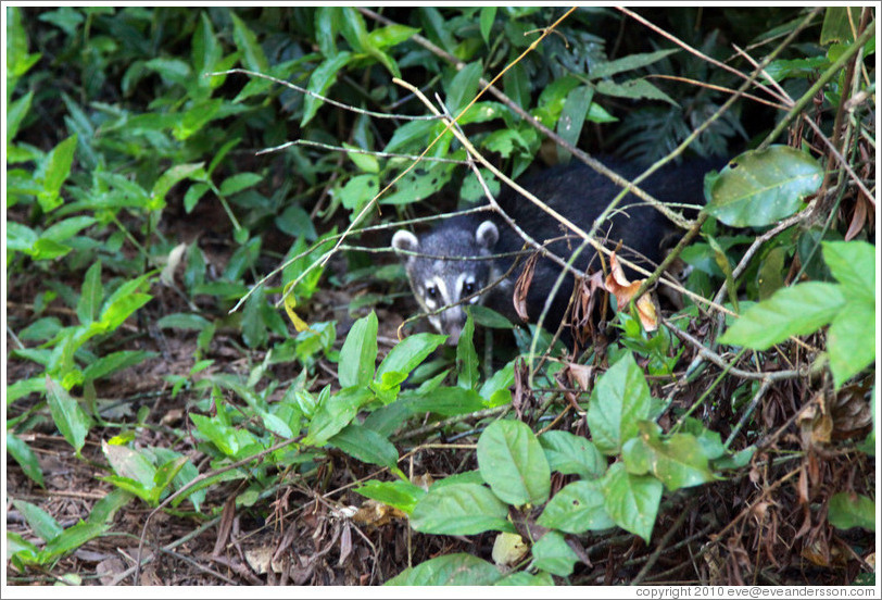 Coati peeking out from behind bushes, Sendero Macuco.