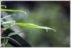 Water droplets on leaves, Sendero Macuco.