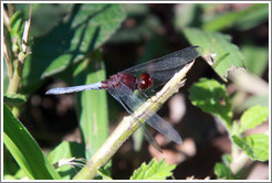 Red dragonfly, Sendero Macuco.