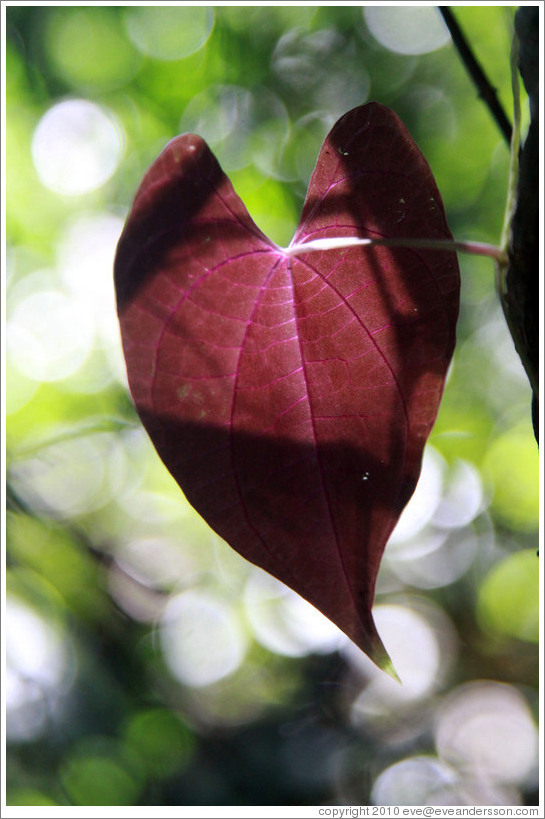 Red, heart-shaped leaf, Sendero Macuco.