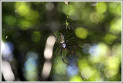 Large spider hanging above the trail, Sendero Macuco.