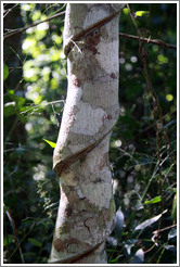 Tree with spiral indentations, Sendero Macuco.