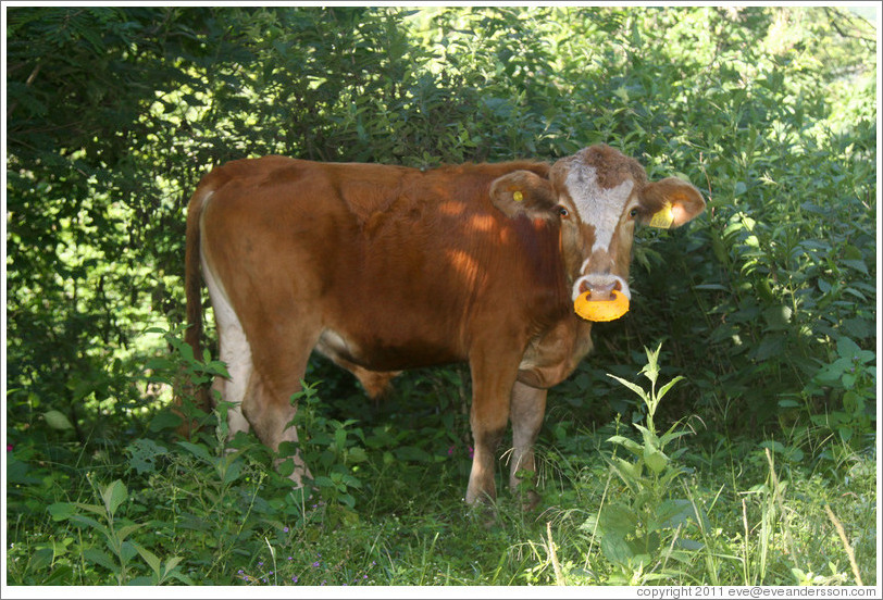 Cow with yellow nose ring.