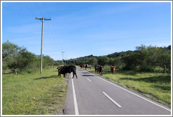 Cows crossing the road.