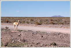 Alpaca at the side of Ruta Nacional 40.