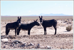 Three donkeys at the side of Ruta Nacional 40.
