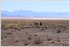 Two donkeys at the side of Ruta Nacional 40.