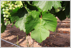 Malbec leaves, Kaiken Winery, Luj�n de Cujo.