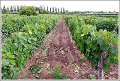Malbec, old vines, low cordon system, Kaiken Winery, Luj�n de Cujo.