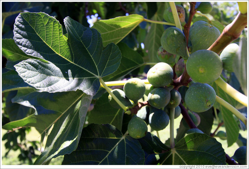Figs growing, Lagarde, Luj?de Cujo.