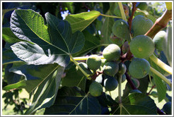 Figs growing, Lagarde, Luj�n de Cujo.