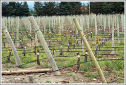 Grafted vines, Andeluna Cellars, Valle de Uco.