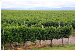 Vineyard, Andeluna Cellars, Valle de Uco.