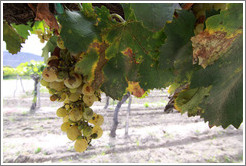 Grapes. Bodega El Esteco.