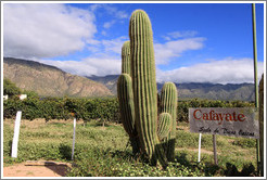 Cafayate sign and cactus. Bodega La Banda.