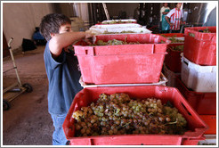 Boy examining grapes. Bodega Tierra Colorada.