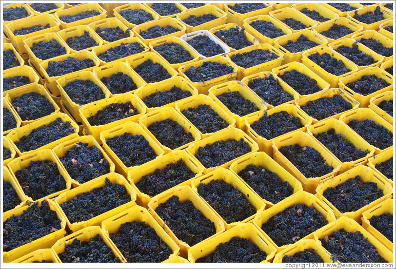 Boxes of recently harvested grapes. Bodegas Etchart.
