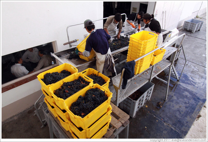Workers putting grapes into boxes. Bodegas Etchart.