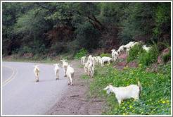Goats crossing the road. Quebrada de las Conchas.