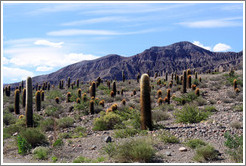 Cacti and mountains. Ruta Nacional 51.