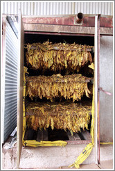 Tobacco leaves air-drying.