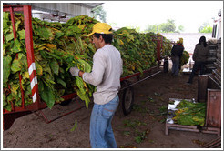 Workers unloading tobacco leaves from a truck.