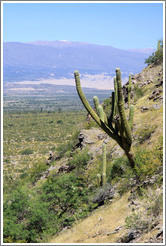 Cactus in the Pre-Inca ruins of Quilmes.
