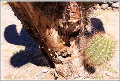 Live cactus growing on a dead cactus in the Pre-Inca ruins of Quilmes.