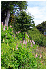 Lupins near the Aerosilla Glaciar Martial.