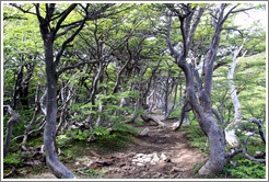 Sendero del Bosque (Forest Path), Glaciar Martial.
